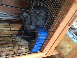 Flemish rabbits/baby bunnies
