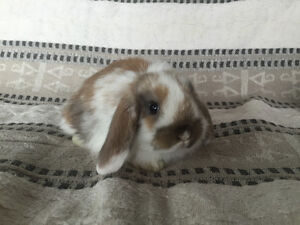 Sweet and adorable Pure Bred Holland lop babies!