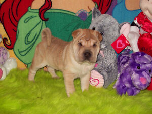 CHINESE SHAR - PEI PUPPIES * FULLY HOUSE TRAINED * 1 GIRL  LEFT