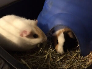 two females guinea pigs for free.