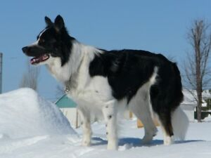 border collie  chiots male