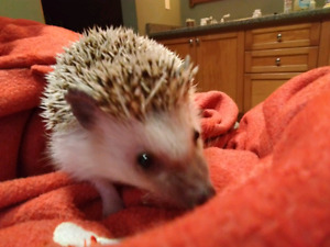 Hedgehog for sale: tame and sweet