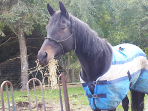 Throughbred mare for sale