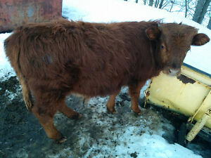 mini Hereford/dexter bull calf