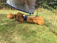 Guinea pigs 4 males