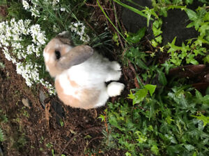 Sweetest male Holland Lop bunny!