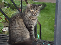 Beautiful young quiet cat - Operated & vaccinated - TO GIVE