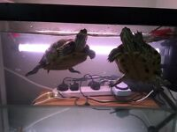 2 yellow belly slider turtles and equipment