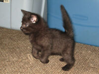 Two Adorable Black Kittens- Male