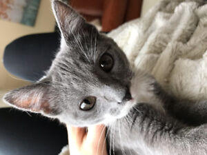 Lost Grey & White 5 month old Kitten in Lakeview Regina