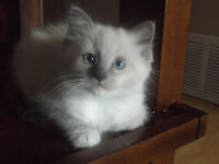 1 male blue point and 1 male blue mitted ragdoll!!