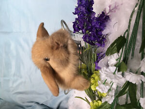 Holland lop baby bunnies for sale