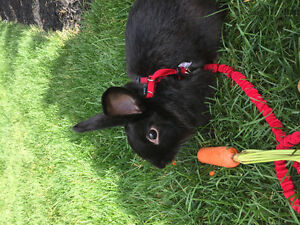 Two male 1 year old bunnies for free!