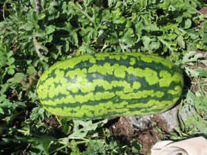 Giant Watermelon 55lbs