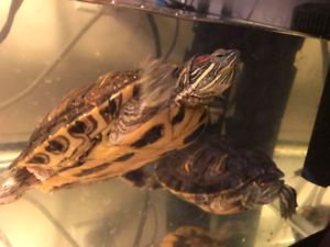 Two red eared slider turtle, 40gallon tank, 2 filter, 2 light