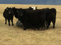 Commercial Black Angus Bred Yearling Heifers