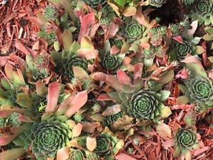 GARDEN HENS AND CHICKS CACTUS