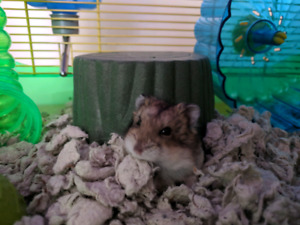 Dwarf hamster to be re-homed