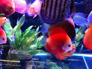 Yellow Discus Fish Salt Water Fish Cichlids Flowerhorn Arowana