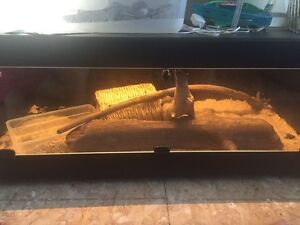 Ball Python and Custom Enclosure for Sale