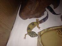 Gorgeous geckos 🌟🌟🌟