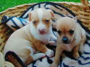 Chihuahua Puppies & Chihuahua X Terrier Puppies