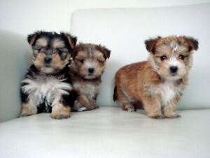 Tiny Toy Size Caramel Morkie Puppies * 2 Females Left !!
