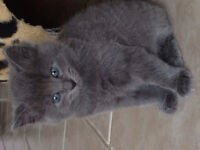 Gorges kitten for sale( Balinese/Russian blue