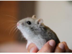 Bebe hamster à vendre