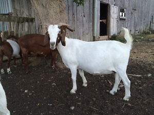 Bore Goats for sale!