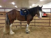 clydesdale registered for sale broke to ride or pull