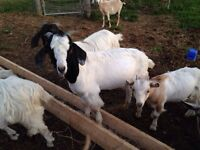 Bucklings and doelings goats