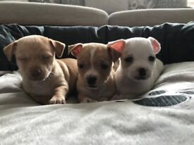 Chihuahua Puppies-Beautiful shorthair Purebred, 3 Males left