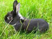 Black Bunny For A Good Home