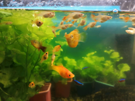 Juvenile albino full red and also assorted healthy guppies are availab