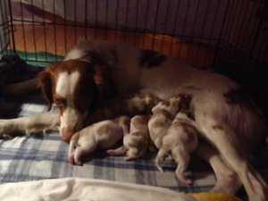 CKC REGISTERED BRITTANY PUPPIES FOR SALE