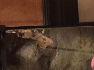 Crested gecko with tank