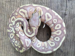 Ball Python Hatchlings + Proven Breeder