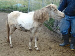 AMHR Buckskin Pinto coming 3 yr Mare For Sale or Trade