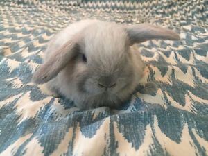 Holland lop baby bunnies! Super sweet and adorable!
