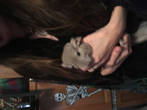 Two month old adorable female baby chinchilla