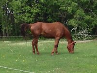 Thoroughbred Hanoverian Mare