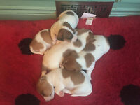 Jack Russell Terrier Puppies (all reserved at this time)