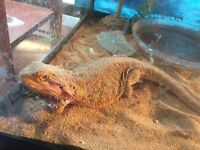 Red bearded dragon n 90gal set up