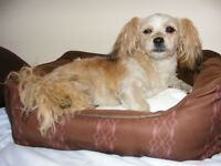 Male SHORKIE needs a Loving, attentive Owner -more pics