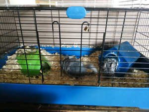 Two male chinchillas with cage and everything
