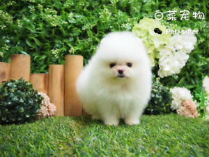 White and Yellow Mini Pomeranian Puppies for Sale