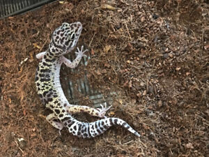 Looking for female leopard geckoS