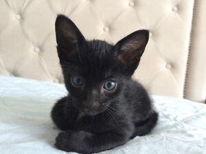 Beautiful f5sbt Savannah kittens!