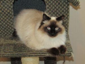 RAGDOLL  MANX,  BEAUTIFUL NEUTERED  MALE KITTY!!